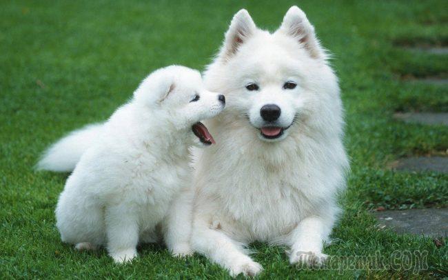 Фото К чему снится белая собака женщине