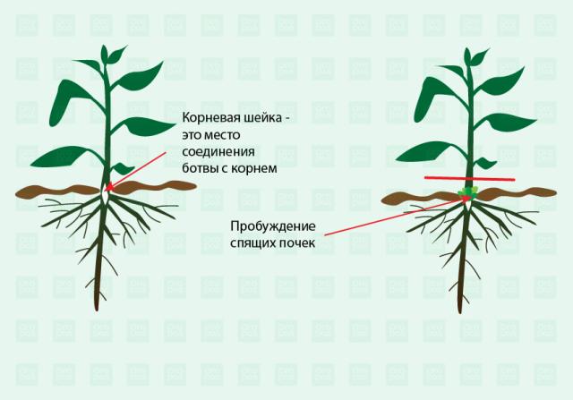 Строение сорняков