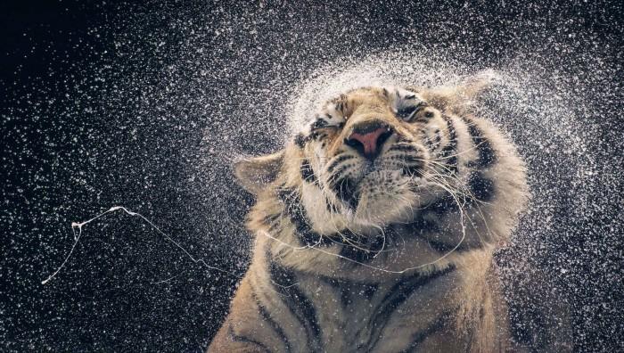 Бенгальская тигрица по имени Канья. Автор: Tim Flach.