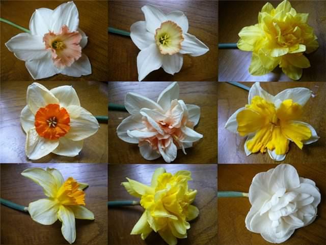 Нарцисс виды