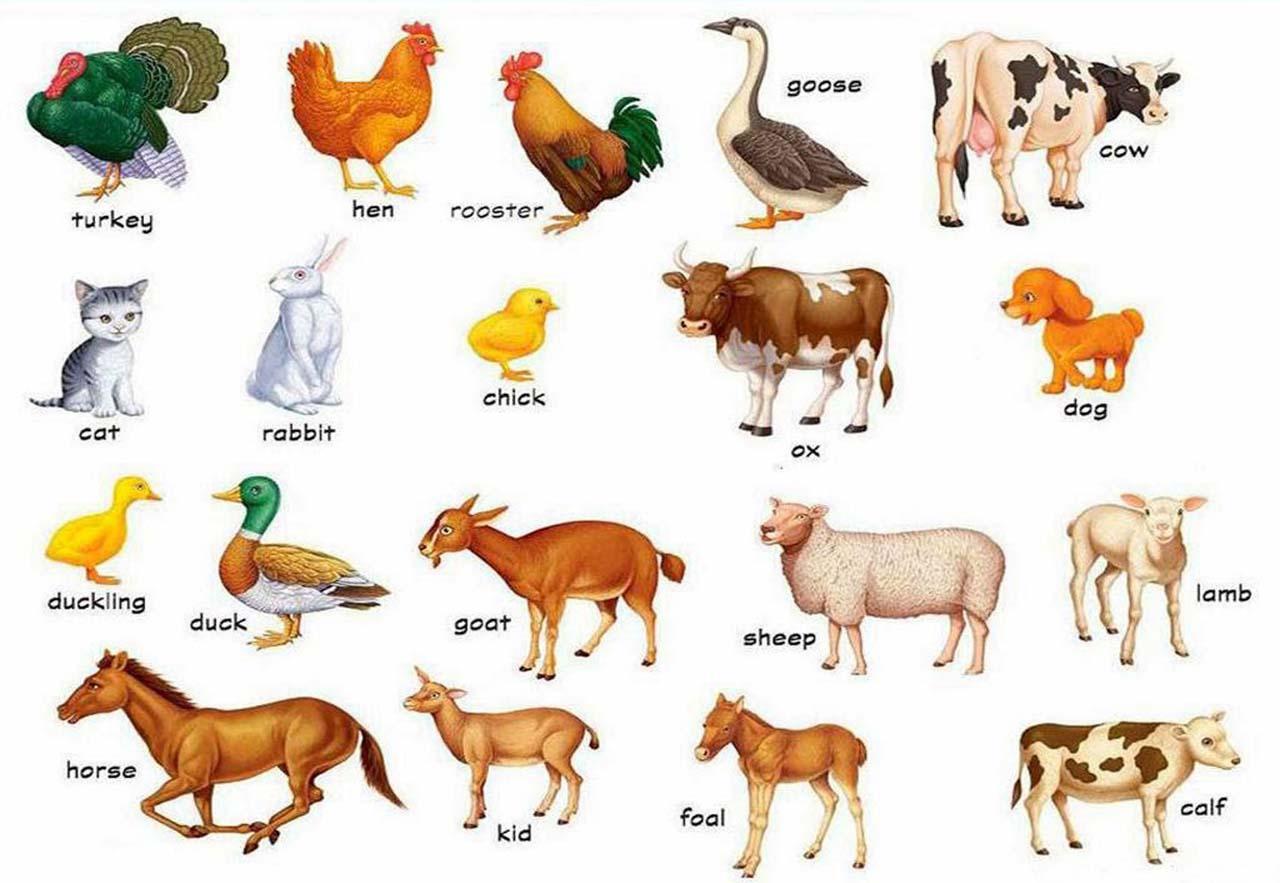 картинках языке животные в английском видео на