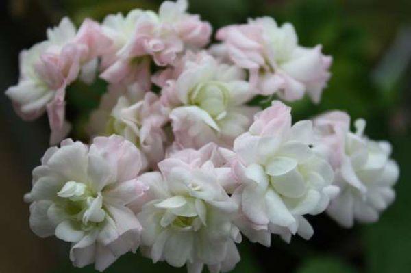 Розебудная пеларгония стане украшением вашего цветущего уголка