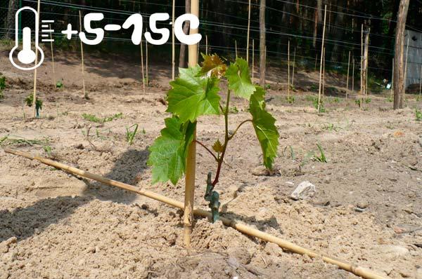 температура посадки винограда