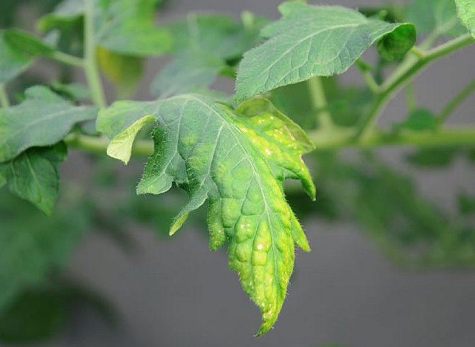 При недостатке калия новые листья на овощных кустах начинают сворачиваться, а старые – приобретают легкую желтизну