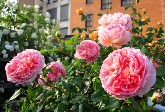 Теневыносливые сорта роз Остина можно высаживать в местах, освещённых прямым солнечным светом 4-5 часов в день