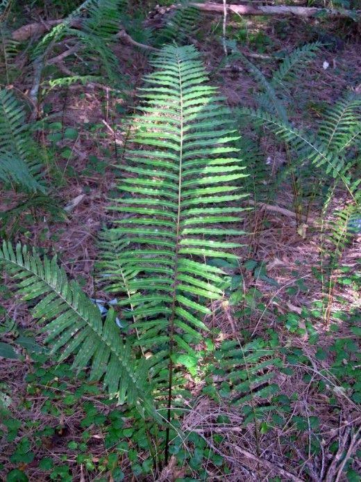 Блехнум пильчатый (Blechnum serrulatum), или Блехнум индийский (Blechnum indicum)