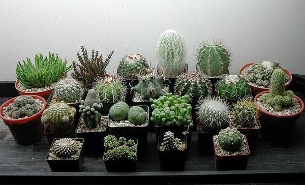 такие разные и необычные кактусы