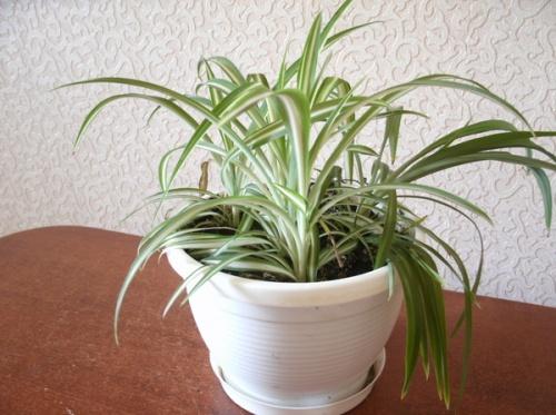 Хлорофитум - комнатный цветок