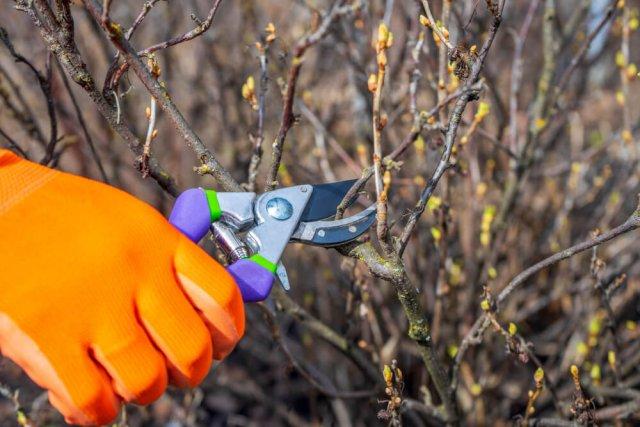 Как ухаживать за смородиной весной, чтобы урожай радовал Сад и огород,сад