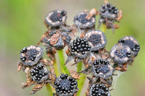 Созревающие плоды венериной мухоловки