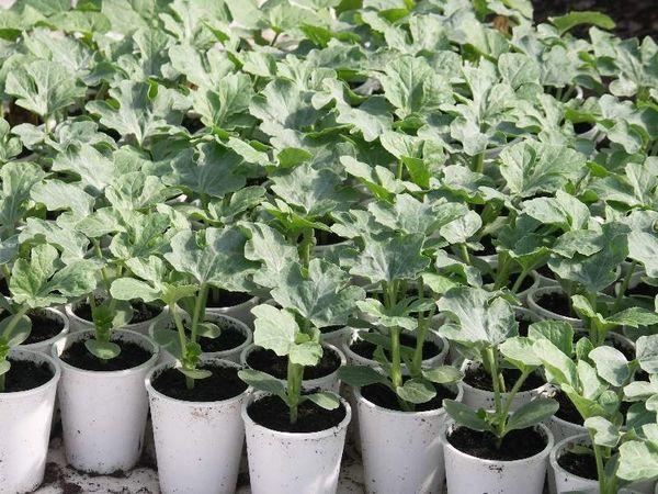 Как подготовить семена арбуза к посадке в открытый грунт?