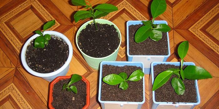 Ростки кофейного дерева в горшках