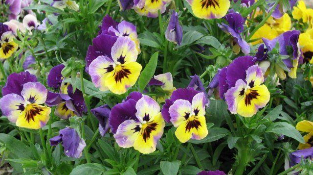 Виола триколор – самая популярная садовая фиалка