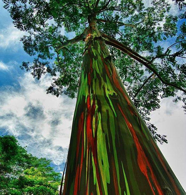 Радужные тропические эвкалипты на острове Кауаи на Гавайях.