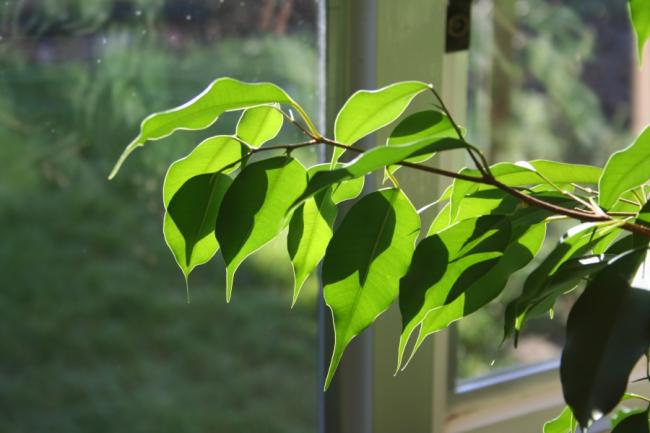 Фикус Бенджамина миднайт леди имеет слегка гофрированные листья