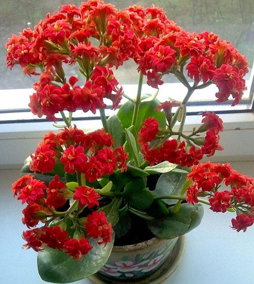 При правильном уходе каланхоэ дает пышные соцветия