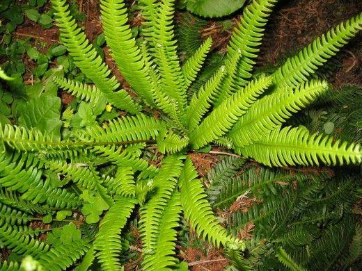 Блехнум колосистый, или Дербянка колосистая (Blechnum spicant)