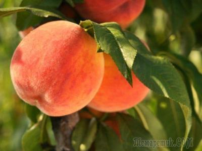 Подготовка персика к зиме