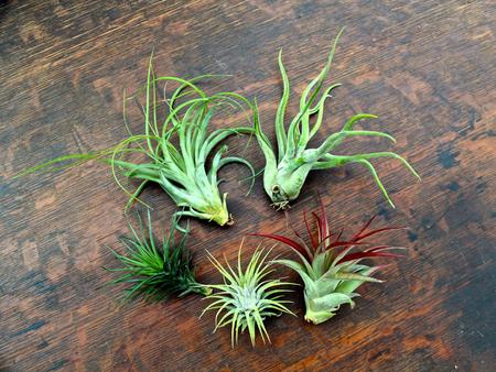 «Воздушные» растения: 14 забавных идей для дома фото 2
