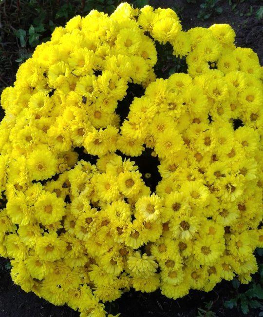 Хризантема Мультифлора (шаровидная) Branbeach Sunny