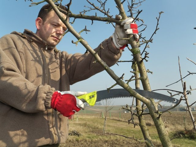 Young gardener pruning apple tree branches with pruning saw