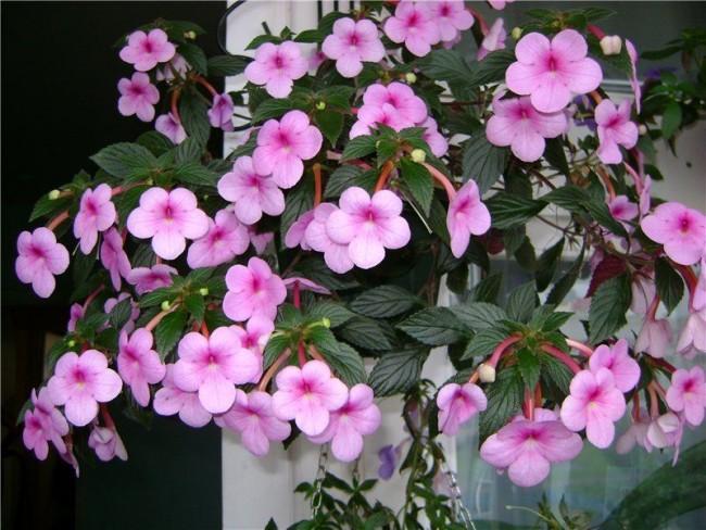 Ахименесы - цветы для души