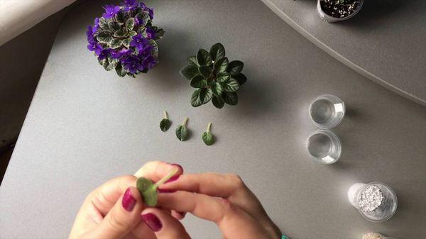 Размножение миниатюрного растения черенками