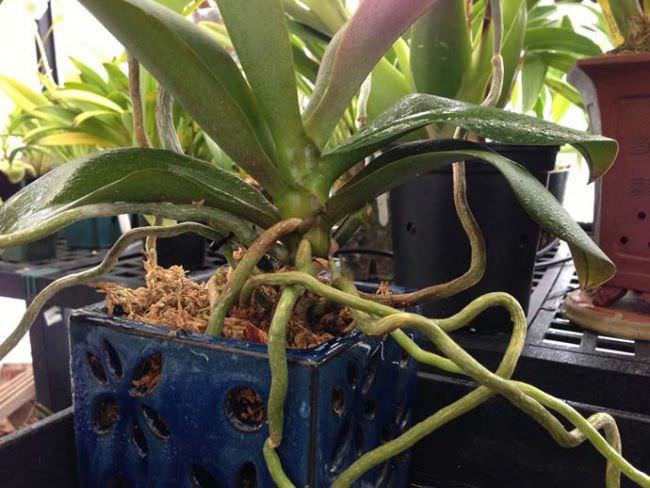 Корневая система эпифитных типов орхидных представлена веламеном, который состоит из полых и омертвевших клеток