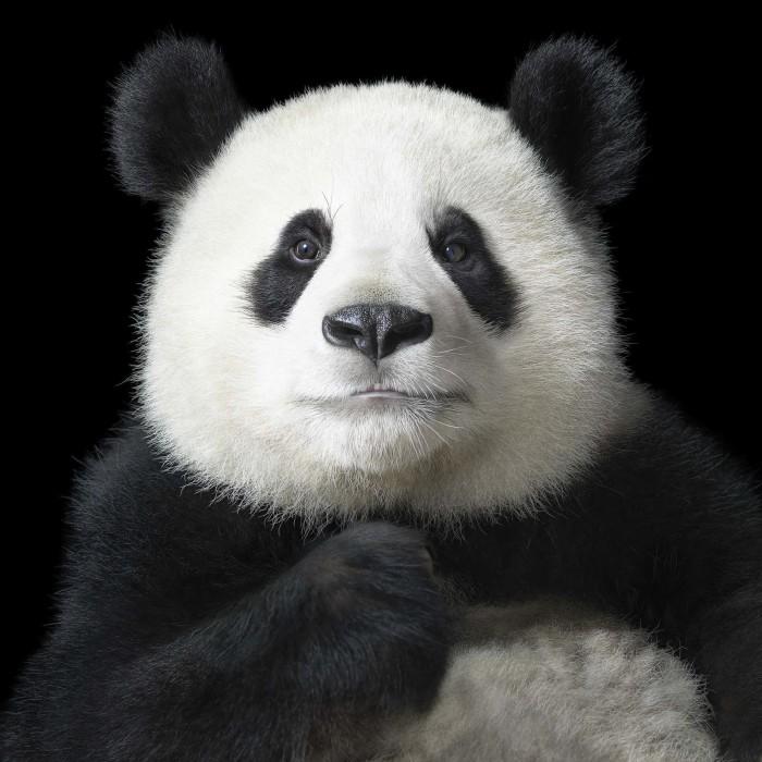 Большая панда по имени Я Юн, что в переводе на русский означает «элегантная». Автор: Tim Flach.