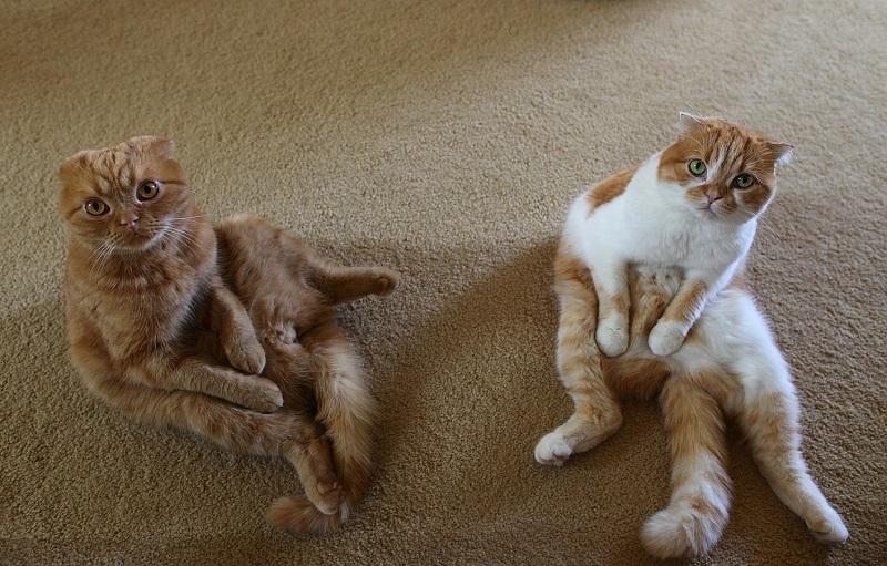 Прикольные картинки с шотландскими кошками