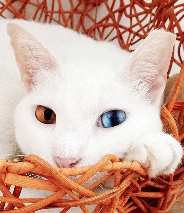 Красивая белая кошка с гетерохромией.