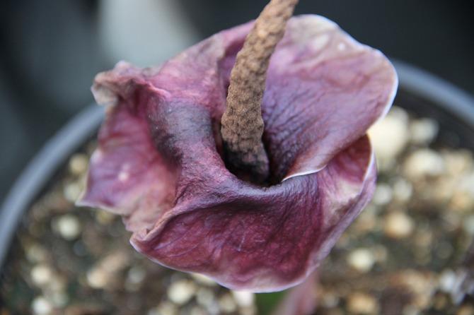 Аморфофаллус – уход в домашних условиях. Выращивание аморфофаллуса, пересадка и размножение. Фото