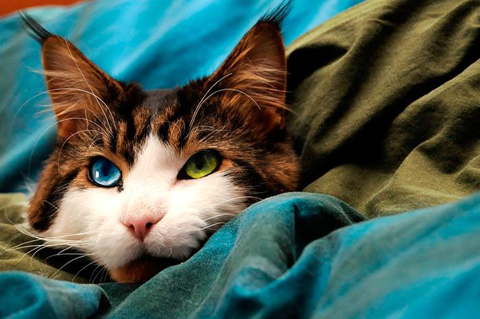 Прекрасный мейн-кун с завораживающими глазами.