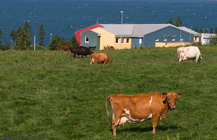Исландские коровы предсказывают погоду. /Фото: Е.Гордин, gifyu.com