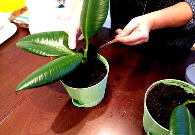 Как размножить фикус дома