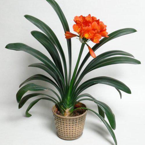 тенелюбивые растения для дома фото и названия
