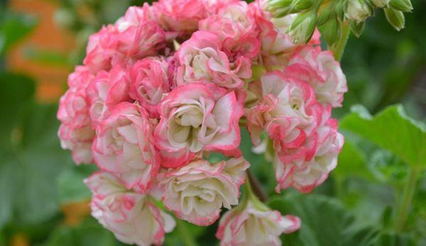 Пеларгония цветет потрясающе красиво