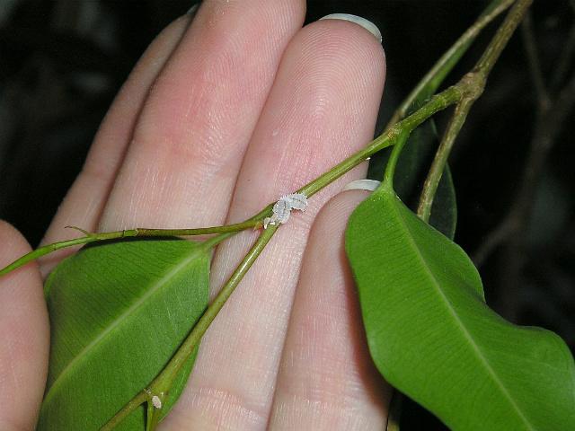 Мучнистый червец образует на листочках белый маслянистый налет, иногда борьба с ним занимает очень продолжительное время, и бороться с ним придется комплексными мерами