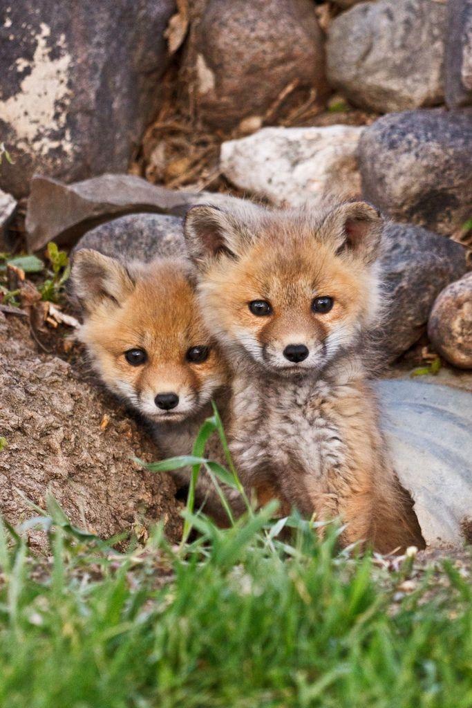 крошечные лисята, маленькие лисы