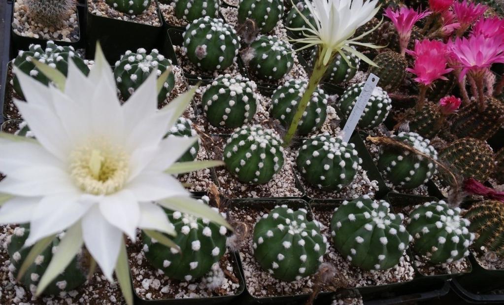 кактус цветущий определить сорт виды с фото бред