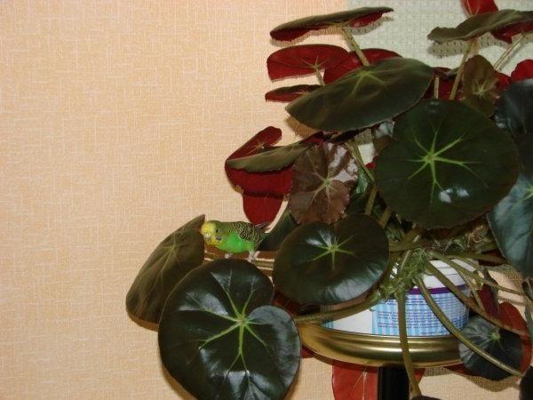 Бегония с красными листьями нетребовательна