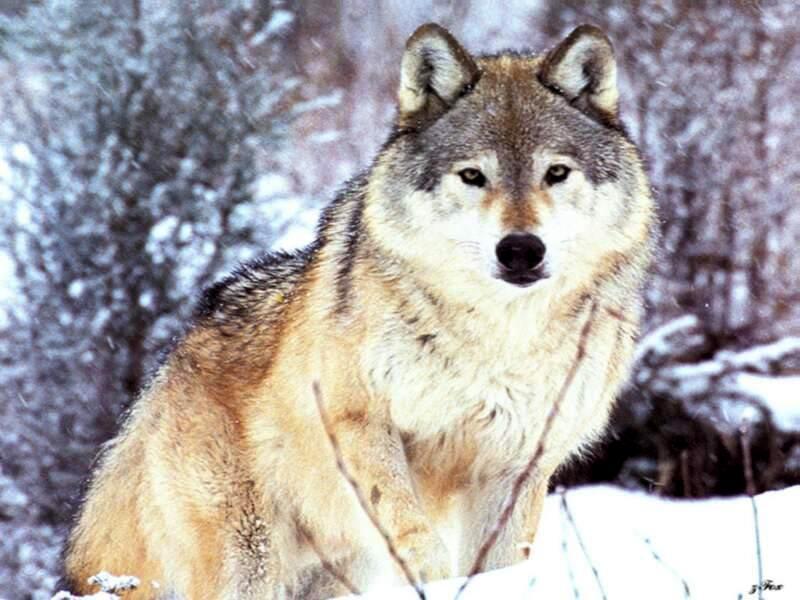 самый огромный волк в мире