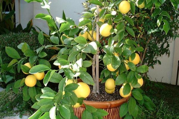 Зимой лимон Мейера необходимо подсвечивать фитолампами