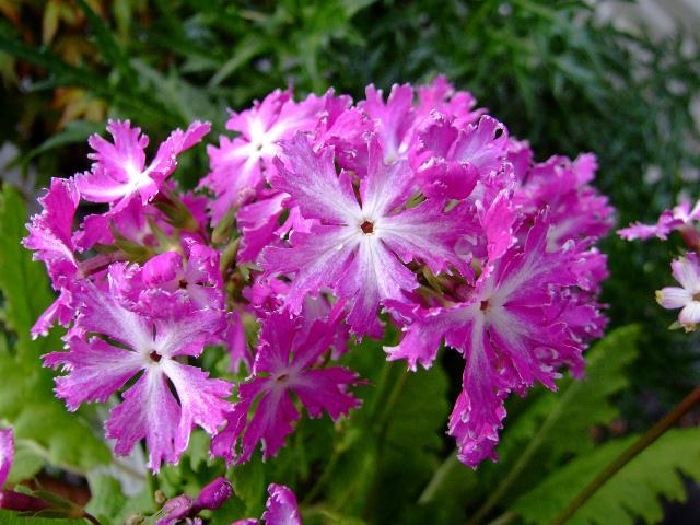 Примула Зибольда (Primula sieboldii)
