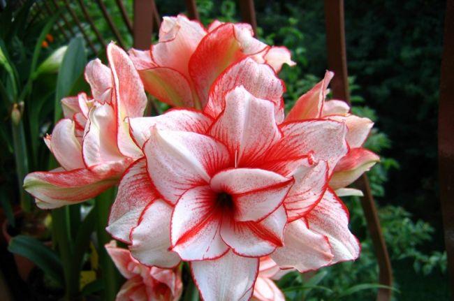 Для того чтобы получить красивый и большой бутон, растение нужно обеспечить полноценным периодом покоя в темном, сухом и прохладном месте