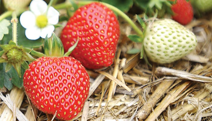 Какие ягоды самые полезные? Клубника