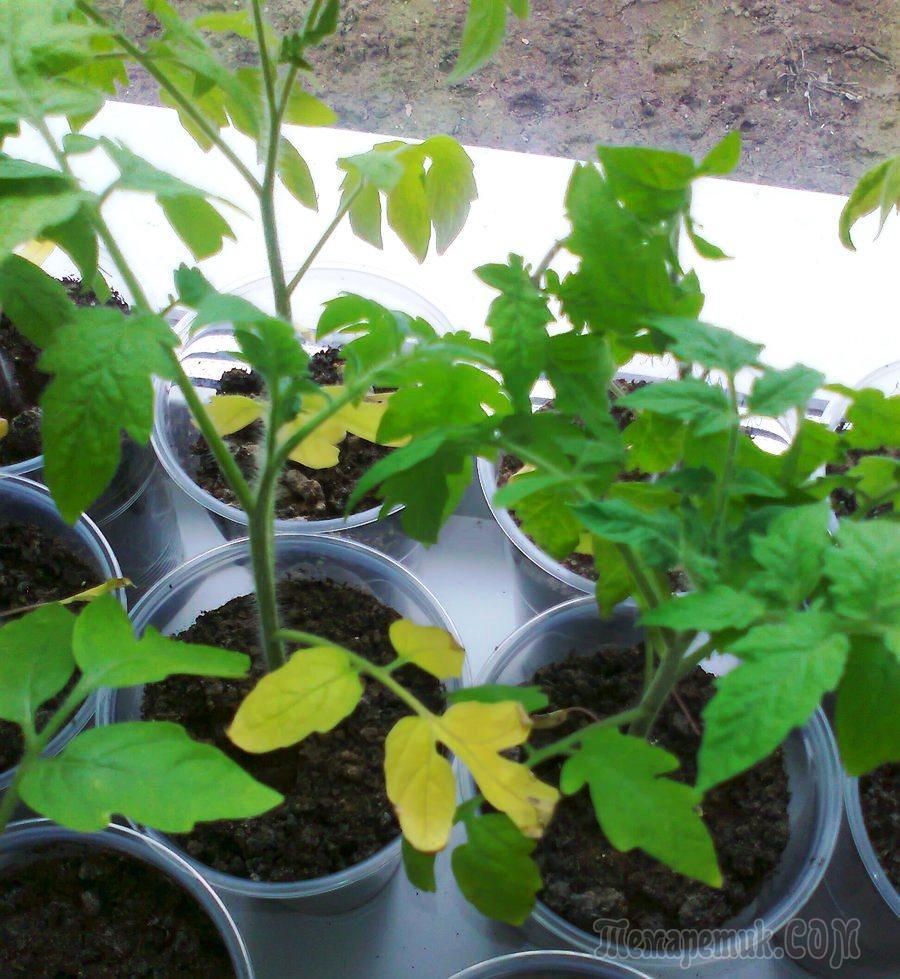 листья помидор в гидропонике желтеют назначению термобелье