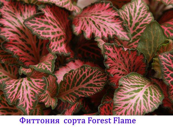 Фиттония сорта Forest Flame