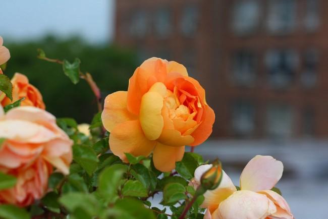 """Эти розы часто называют """"современными парковыми розами"""", но это в некотором роде ошибочно, так как не все розы Остина могут переносить нашу зиму без укрытия, как это подразумевается для парковых"""