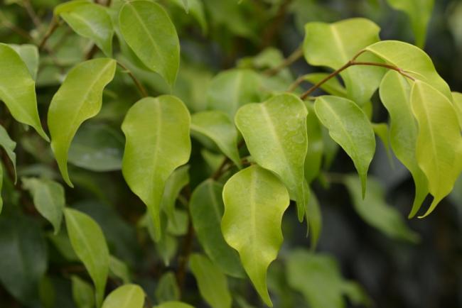 Фикус Бенджамина Моник (Monique) украсит интерьер своей ярко-зеленой листвой